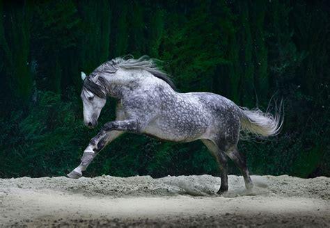 pferde fantasy horse hintergrund andalusian horses whatsapp yeguada cartuja