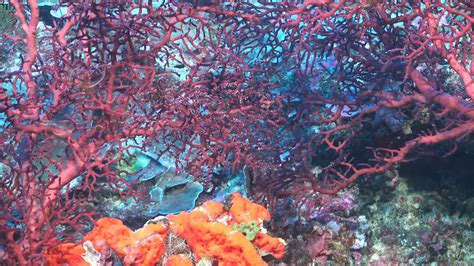 A Pinnacle of Coral Is Discovered in Australia's Great ...