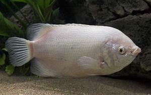 Fish List In Cambodia