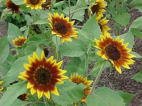 oklahoma sunflower gardens perennials garden helianthus missouri annual gardening botanical sunflowers selected well annuals