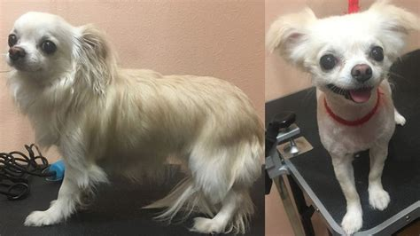 10 best long haired chihuahua haircuts page 2 of 5 the