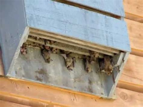 bathouse where do bats live how to attract bats youtube