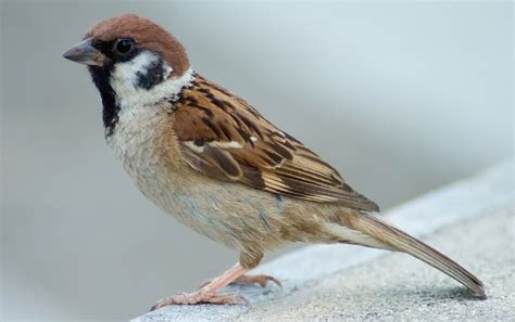sparrow information in marathi bird sparrow essay