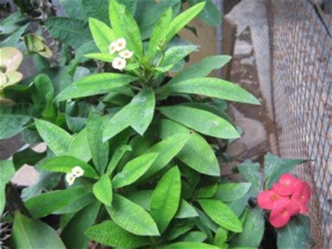 merawat tanaman hias