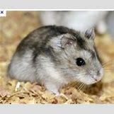 Robo Dwarf Hamster Cages | 250 x 207 jpeg 20kB