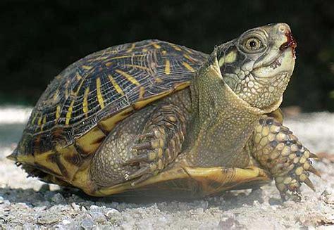 box turtle box turtle