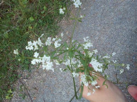 unkraut kleine weiße blüten unbekannte pflanzen seite 308 kaninchen