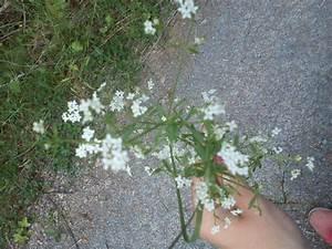 Unkraut Weiße Blüte : unbekannte pflanzen seite 308 kaninchen ~ Lizthompson.info Haus und Dekorationen