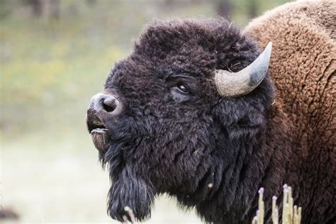 bison loose sharon springs times union
