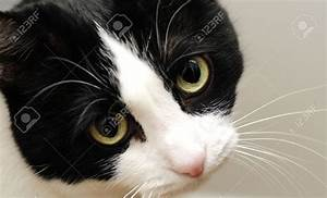 A Cute Black And White Cat With Sad Yellow Eyes Stock ...