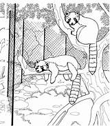 Raccoon Coloring Pages Raccoons Animals Tree Wildlife Hanging Zoo Racoons sketch template