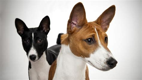 do basenji mixes shed what mix of breeds do you think this is yahoo answers