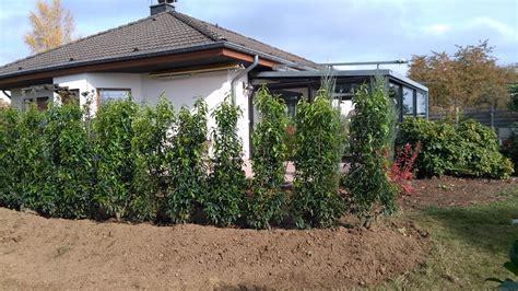 portugiesischer kirschlorbeer hecke empfehlungen pflanzenabholen de