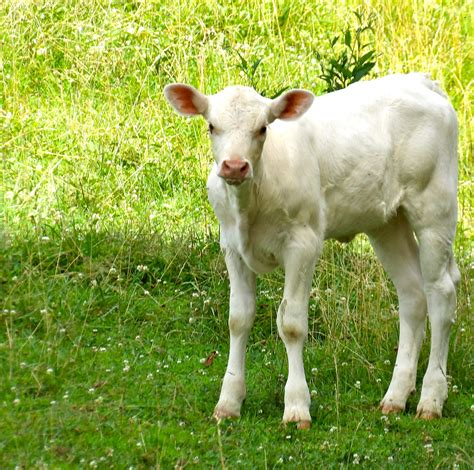 Baby White Cow Wwwpixsharkcom Images Galleries With