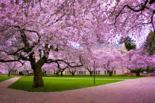 trees images cherry blossom tree hd wallpaper and background photos 19838733