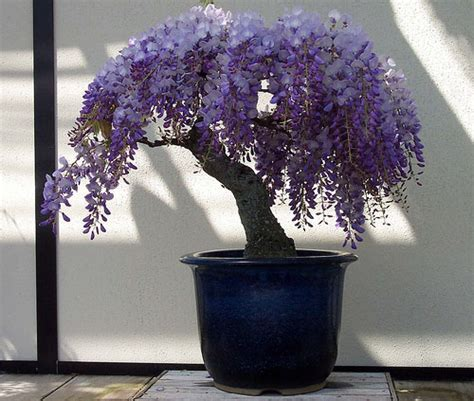 wisteria  spelled wistaria   genus  flowering