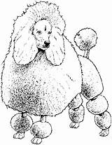 Coloring Pages Dog Poodle Colouring Breed Toy Poodles Printable Hound Basset Template Getcolorings Print Sheet Comments Miniature Coloringhome Pag sketch template