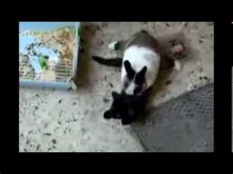 MORRA DE RIR - Gatos Engraçados - YouTube