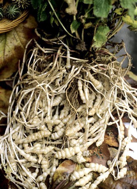 cuisiner les crosnes crosne du japon planter et cultiver ooreka