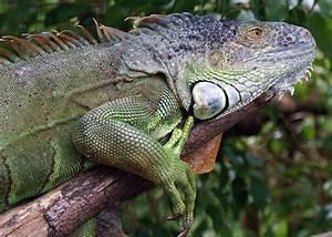 Orange Green Iguana |Iguana | ANIMAL ONLINE