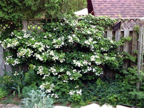 hortensia grimpant hydrangea petiolaris h seemanii h semiola