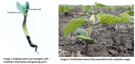 what is a cotyledon soybean growth and development 6 7 12 crop pest report