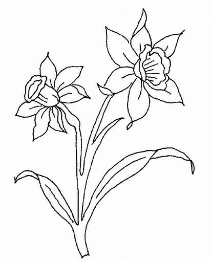 Daffodils Daffodil Welsh Drawing Wales Coloring Flower
