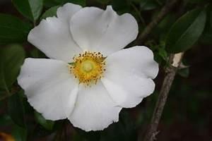 Government - Georgia State Flower (Cherokee Rose ...