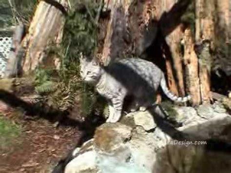 cat habitat outdoor cat habitat for my cats and bengals cat