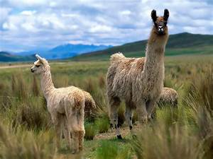 Alpacas and Llamas images Llama wallpapers! HD wallpaper and background photos (28337713)