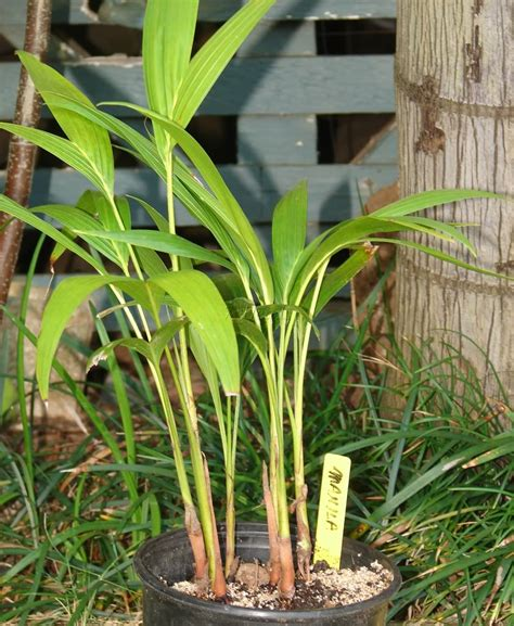 Christmas Tree Sapling Care by Polynesian Produce Stand Christmas Manila Palm Tree