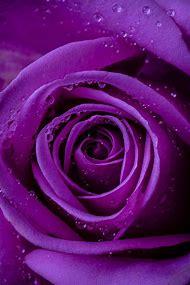 Beautiful Purple Rose Flowers