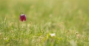 Was Macht Man Mit Amaryllis Nach Der Blüte : augenblicke von bernd flicker schachblumen fritillaria ~ Lizthompson.info Haus und Dekorationen
