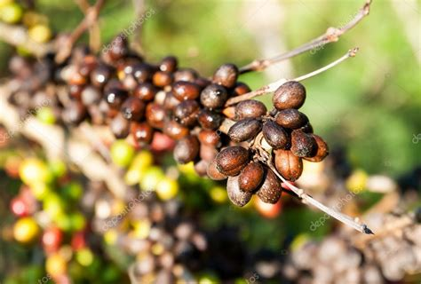 Each tree picture category on the left gives you information about the specific tree types and lots of great pictures of that tree. Coffee beans on coffee tree — Stock Photo © Tomnamon #19783977