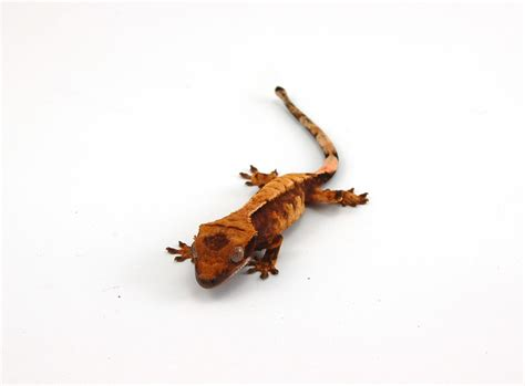 crested gecko care page 92