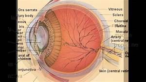 Lens Eye Anatomy
