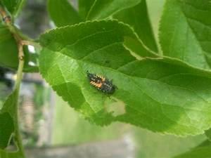 Schädlinge Im Garten : invasion von seltsamen tieren auf meinem pflaumenbaum ~ A.2002-acura-tl-radio.info Haus und Dekorationen