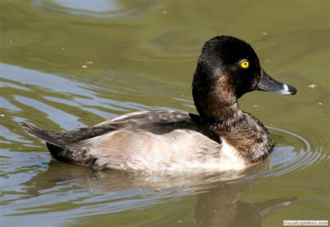 identify ring necked duck wildfowl photography