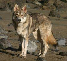 1000+ images about Tamaskan Dog on Pinterest   Grey Wolves ...
