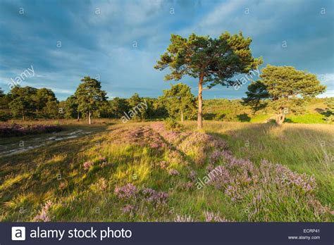 Late Summer Afternoon In Ashdown Forest, East Sussex