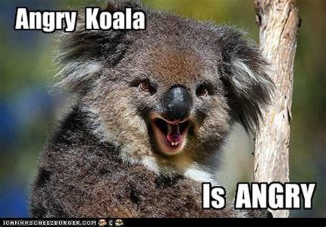 Angry Koala Meme - 80 best images about koalas on pinterest hey mama humorous quotes and search