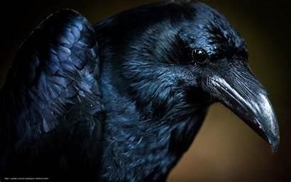 Raven Bird Desktop Macro Wallpapersafari