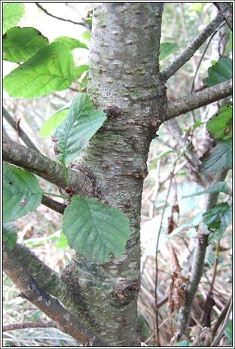 irish trees common alder