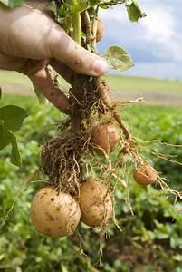 Wann Süßkartoffeln Ernten : erntezeit f r kartoffeln wann kann man sie ernten ~ Buech-reservation.com Haus und Dekorationen