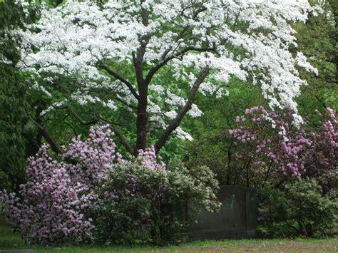 flowering trees seeing new england flowering trees