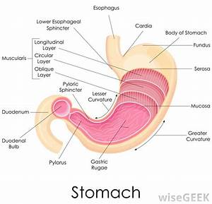 What Is The Lower Esophageal Sphincter   With Pictures