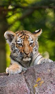 Download Teen tiger, cute predator, animal wallpaper ...