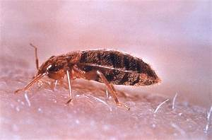 ten bed bug extermination reminders you must not forget With bed bug but