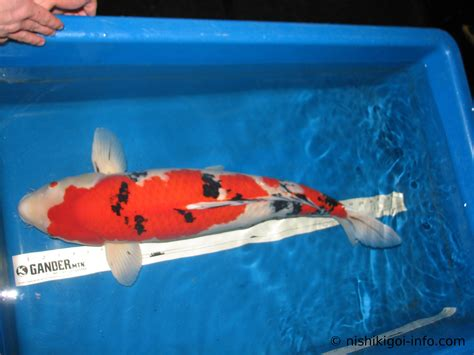 sanke koi taisho sanshoku koi fish information