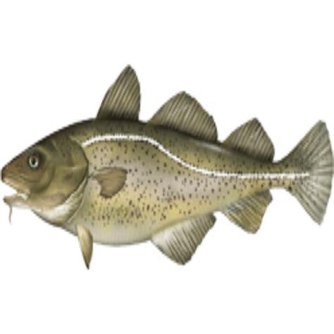 gadus_morhua Atlantic cod - NAMMCO